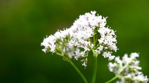 Valerian,Valeriana officinalis, medicinal herb with flower
