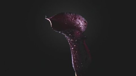The hand of a man with a knife cuts the flower of a calla lilly of maroon color from the stem and splashes of water scatter in different directions. Full HD video, 240fps, 1080p.
