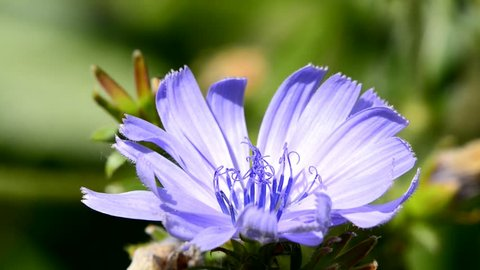 Common chicory, Cichorium intybus, flower of the food and medicinal plant