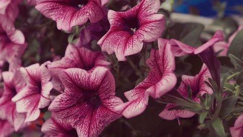 Close up of some beautiful pink hanging petunia flowers