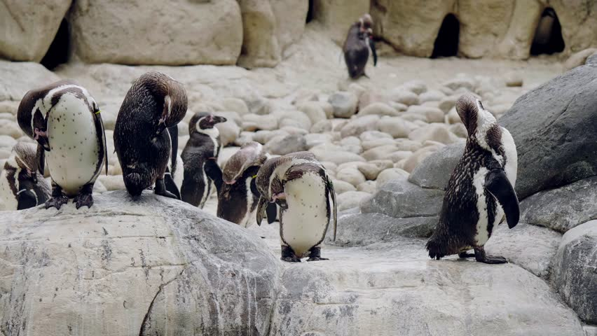 Humboldt Penguins walking in the zoo.