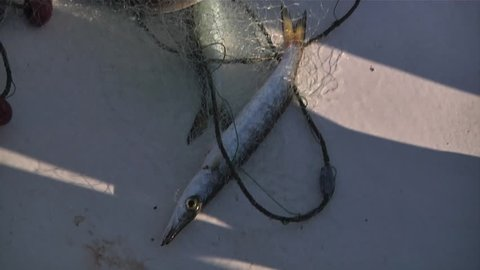 Close up of a yellowtail barracuda in a fishing net on the deck of a fishing boat