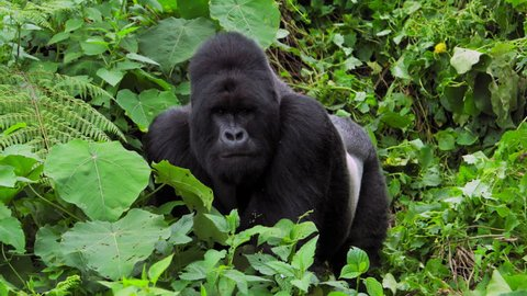 Looking or Resting Silverback Gorilla at Virunga National Park Congo Africa Mountain Gorilla