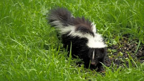 cute small skunk eating birdseed