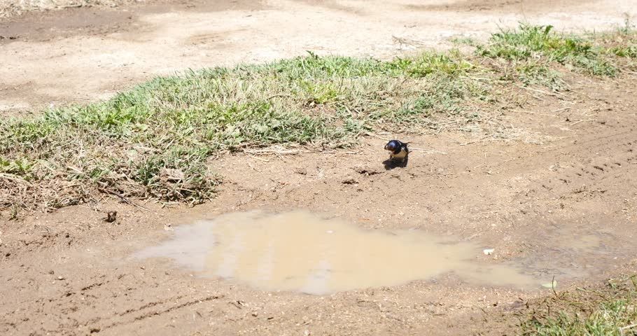 swallow birds taking mud from floor to build and construct nest swallows animal