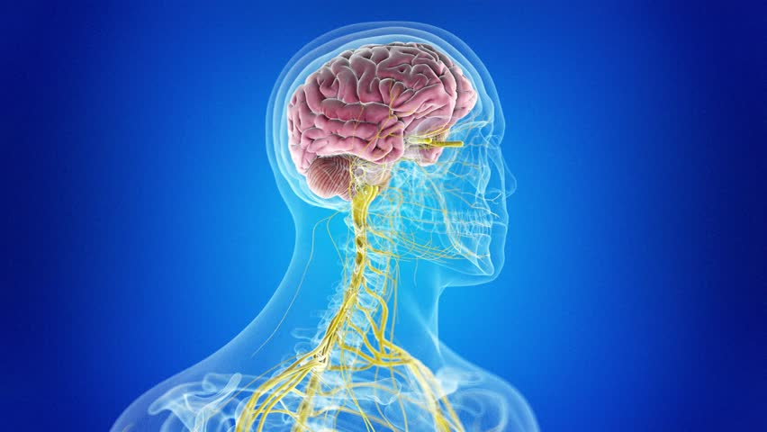 Medically accurate 3d animation of the human brain and nervous system   Shutterstock HD Video #1013158313