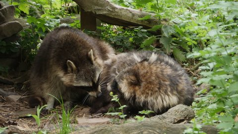 Male and female raccoon fighting or disagreaing