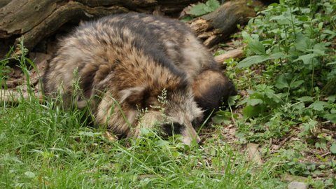 Raccoon dog resting on the ground, sniffs around with its nose. Also called a mangut.