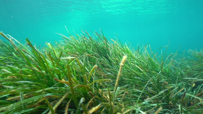 Ripples of seagrass underwater in the Mediterranean sea, Neptune grass Posidonia oceanica, natural light, Cabo de Palos, Cartagena, Murcia, Spain