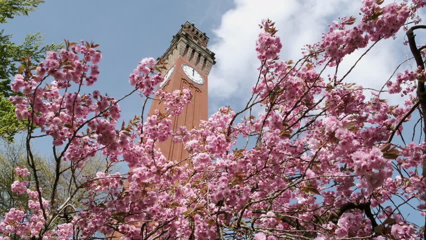 """Pink Cherry Tree Blossom on the grounds of The University of Birmingham in the UK with the famous """"Old Joe"""" clock tower rising above."""