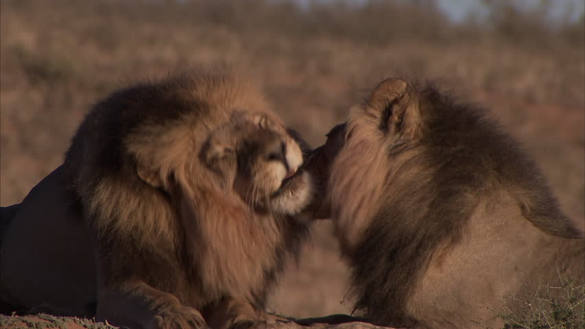 Two male kalahari lions grooming and licking each other