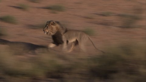 Big male Kalahari lion running after another male lion and growling