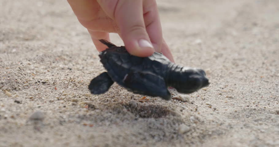 A small newborn turtle walks on the sandy beach to reach the sea or the ocean and swim together with other sea animals. Concept of: love, birth, life, turtles.