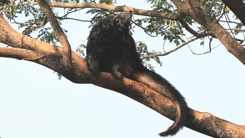 Binturong relaxing on the timber. Cute wildlife Binturong or Bearcat or Arctictis binturong.