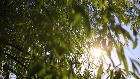 Beautiful charming soft sunlight through willow foliage at sunset time outside. Closeup view of tree branches in foregrund and blurry blue river water and wood in background. Real time video footage.