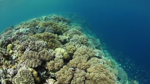 A variety of healthy corals grow on the edge of a shallow coral reef drop off in Wakatobi National Park, Indonesia.