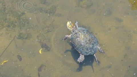 European pond turtle (European pond turtle) in a pond of ruin city Butrint (Allbania).