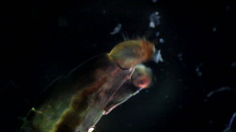 Bloodworms (midge larvae). Mosquito larva under a microscope, you can see its internal organs