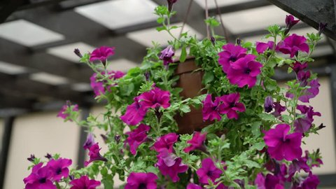 Petunia flowers at the house porch