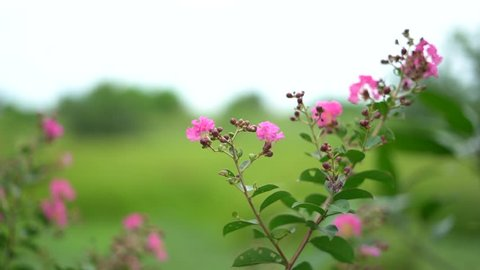 Pink flowers with greenery background.