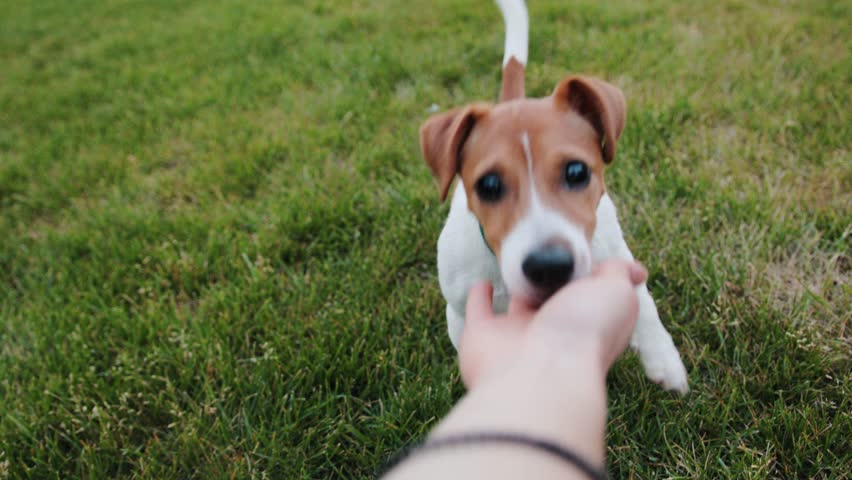 Pretty pet eating dog food from hand of owner. Nice little dog giving paw, looking at Caucasian girl. Outdoors. Summertime. | Shutterstock HD Video #1013464313