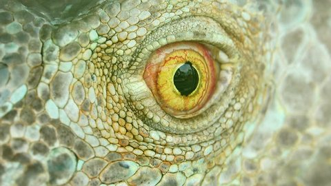 4K Iguana skin eyes close up macro nature background.