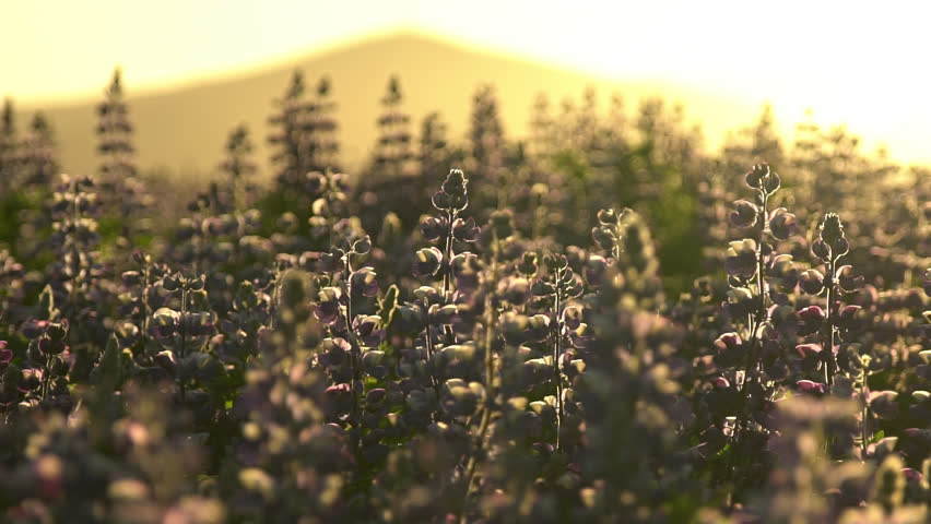 Slow motion Icelandic summer, sunlight silhouetted Lupine flowers, summer sunrise.