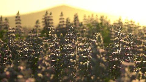 Slow motion Icelandic summer, sunlight silhouetted Lupine flowers, summer sunrise.