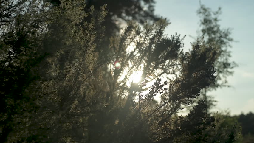Sun shining through gorse bush in a uk woodland St Catherines Hill Dorset