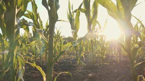 beautiful corn field at sunset