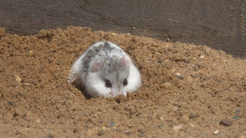Djungarian hamster (Phodopus sungorus) digs a hole in the sand. Dzungarian, striped dwarf, Siberian, Siberian dwarf hamster or Russian winter white dwarf hamster