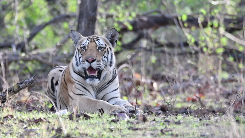 A tiger cub relaxing next to safari track on a hot summer morning inside Pench tiger reserve during a wildlife safari