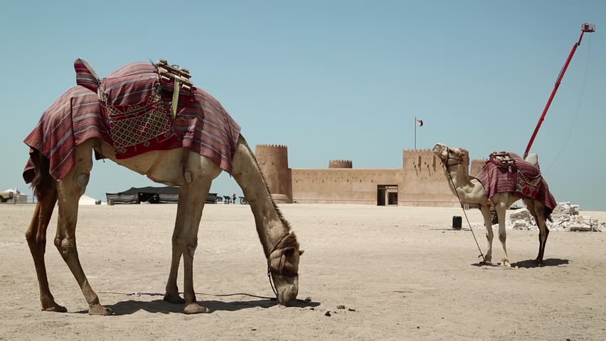 Camels near Al Zubara Fort or Al Zubarah Fort - historic Qatari military fortress built in the time of Sheikh Abdullah bin Jassim Al Thani in 1938, Persian Gulf, Arabian Peninsula, Middle East