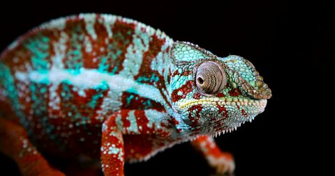 Beautiful and colorful Panther Chameleon, close-up and zoom out, with its reflection visible on a black acrylic surface that it is standing on while moving its eyes