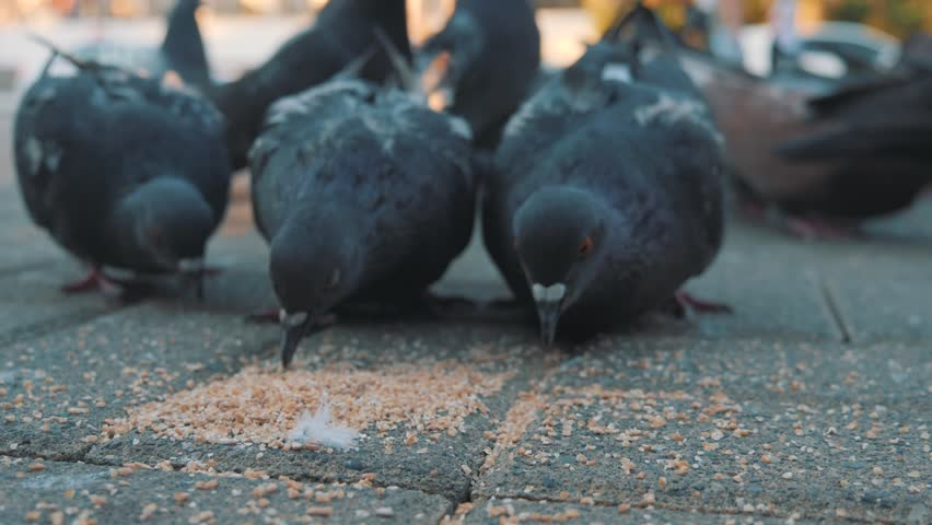 Pigeons peck grain in the square. Slow shooting from the ground. Pigeons in the sun.   Shutterstock HD Video #1013708483