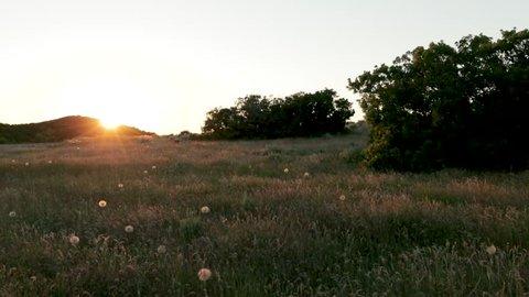 Walking Through Grass During Sunet