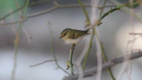 Lemon rumped warbler