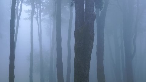 PINO CANARIO (Pinus canariensis),  , El Pilar, La Palma, Canary Islands, Spain, Europe