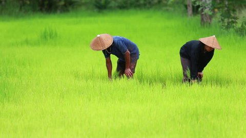 Couple farmer working on green rice field together in Thailand.