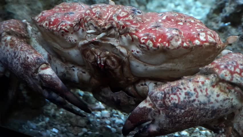 Close up of a BEAUTIFUL Red Crab,ing it's feelers to sense theement of the water