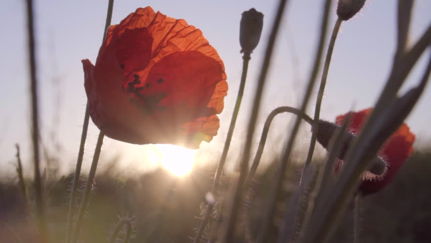 Red poppies on sunrise