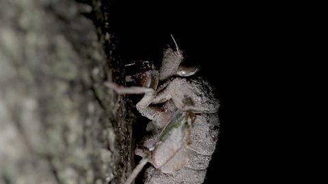 Struggle to survive concept. Close up of baby cicada nymph climbing a tree a night to transform into an adult. Cicada ready to molt and transform into an adult. Summer insects.