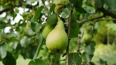 pear tree detail shot in summer