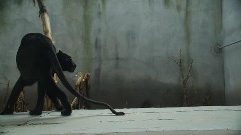 Black Puma walks in Slow Motion