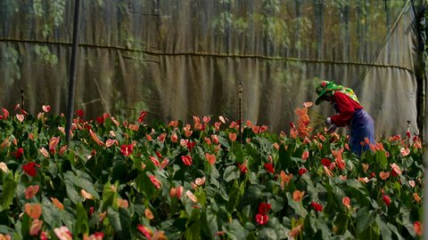 Picking Anthurium Flowers at a Nursery