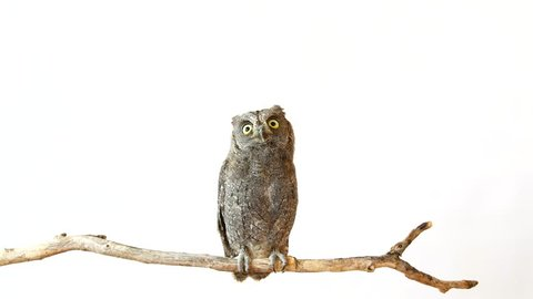 European scops owl (Otus scops) sits on a stick on a white background and opens its wings