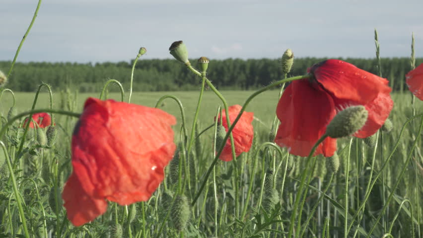 Poppy Flower After Rain Stock Video Footage 4k And Hd Video Clips