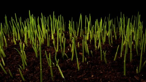 Time-lapse of germinating sprouts of wheat isolated on black background. Close-up