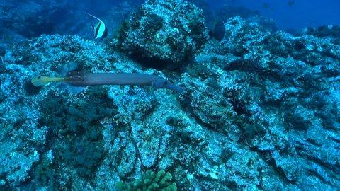 Following trumpetfish over rocky reef - Socorro.