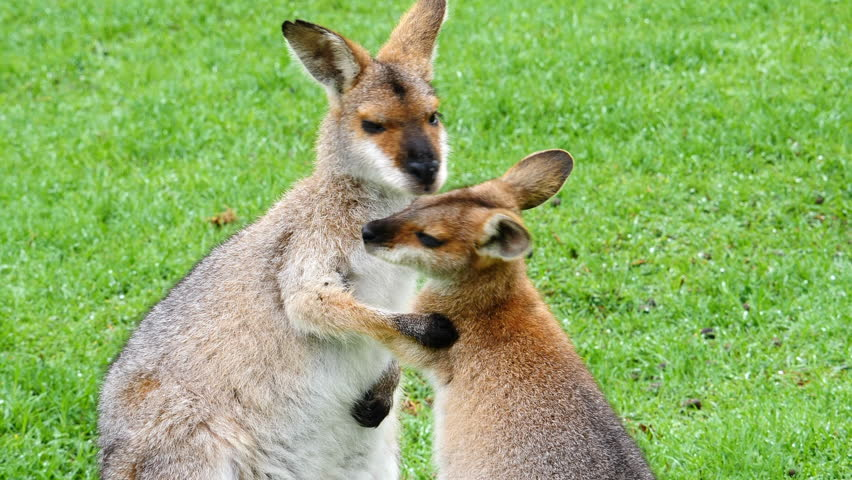 Wallaby kangaroos embrace in a field in Australia.